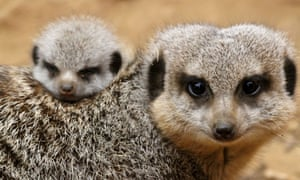 Compare the meerkats. The first public appearance of Chester Zoo's newest resident, a meerkat pup. The tiny newcomer has made its first public appearance after being hidden away in burrows by its parents since being born three weeks ago.