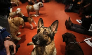 A German Shepard named Commander attends a news conference at the American Kennel Club in New York. The club announced their list of the most popular dog breeds in 2012 and the German Shepard is in the top 5.