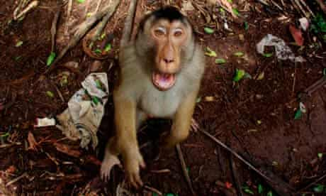 Monkey in Indonesia
