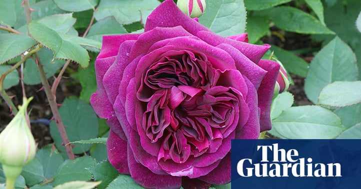 Gardens Rose Bushes In Pictures Life And Style The