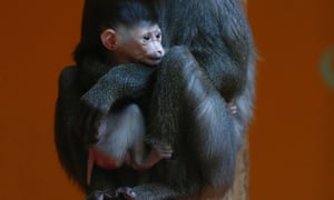 An eight year old drill monkey, Kaduna, holds tight of her newborn baby at the zoo of in Munich