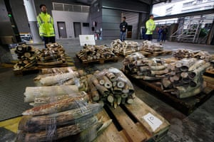 Week in wildlife: Ivory tusks are displayed after being confiscated by Hong Kong Customs