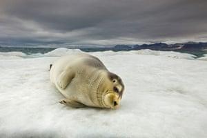 Week in wildlife: bearded seal
