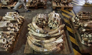 Part of a shipment of ivory tusks seized from a shipping container by customs officials in Hong Kong