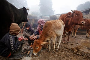 Cold weather in India: A group of men are joined by stray cows as they try to warm themselves