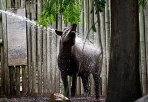 Australia heatwave: Tiqui, a brazilian tapir is given a shower in its enclosur