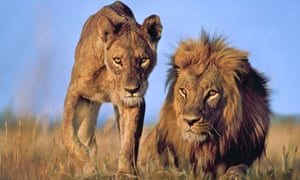 West African lions on verge of extinction, report says | Environment