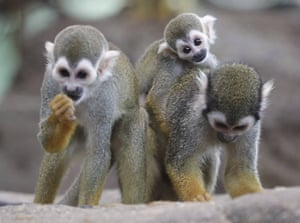 Squirrel monkeys and its offspring seen in the Berg Zoo in Halle, Germany.