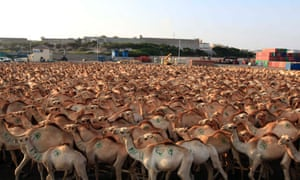 Camels walk in the loading area in Mogadishu's port before being exported to countries in the Middle East.