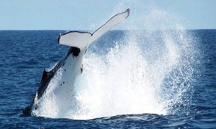 Australian Antarctic Division: humpbacks