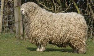 Longwool sheep