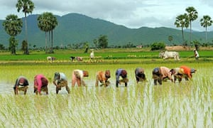MDG : Cambodian farmers grow rice in a field