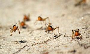 MDG : Locusts in Menabe, western Madagascar