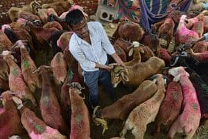 Eid al-Adha: A vendor handles a goat at a livestock market in Hyderabad, India