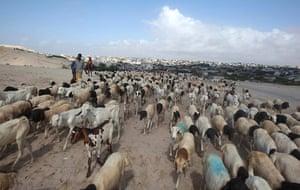 Eid al-Adha: Cattle traders wait for customers at a livestock market in Mogadishu, Somal