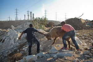 Eid al-Adha: Bedouin boys drag a sheep to slaughter in their village of Wadi Naam in the