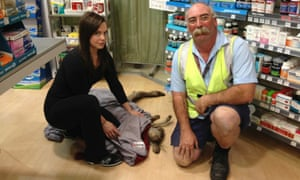 A kangaroo hopped through into Melbourne Airport today and went straight into a pharmacy.