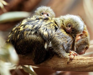 Two newborn pygmy marmosets on the back of a parent at the Wilhelma in Stuttgart, Germany. T