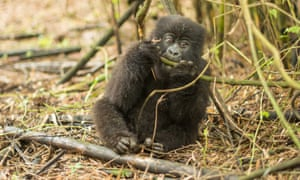 A cute baby mountain gorilla in the Virunga National Park, Rwanda. The critically endangered youngster put on an acrobatic show for biologists in the Virunga National Park.
