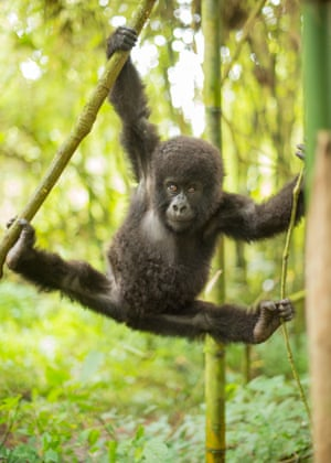 The baby is part of the Sabyinyo family led by alpha male Guhonda - who is believed to be the oldest and heaviest mountain gorilla in the world.