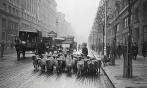 An orderly flock of sheep walking  along the Kingsway in London, 1926.