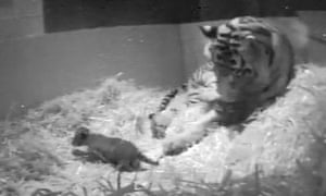 Melati with her new cub.