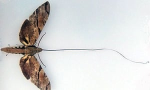 Darwin's moth and its absurdly long proboscis