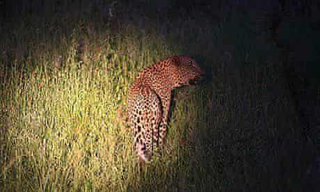 A leopard is spotlighted during a game drive at Kruger Par