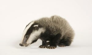 Badger cull hit by legal challenge | Environment | The Guardian