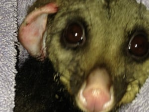 Bushfires take heavy toll on wildlife, including possums, koalas and