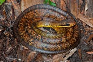 New Amazon species: Chironius Challenger
