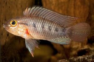 New Amazon species: Apistogramma cinilabra