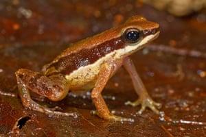 New Amazon species: Allobated amissibilis