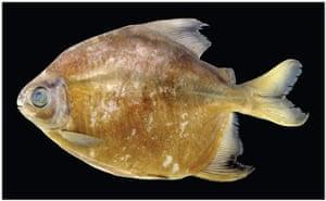 New Amazon species: Tometes Camunani