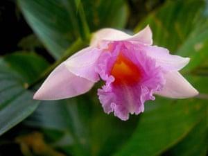 New Amazon species: Sobralia imavierae