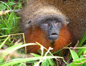 New Amazon species: Callicebus caquetensis