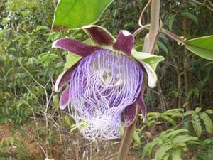 New Amazon species: Passiflora longifilamentosa