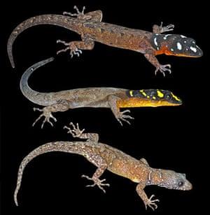 New Amazon species: Gonatodes timidus