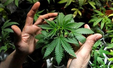 Marijuana plants in Montevideo, Uruguay.