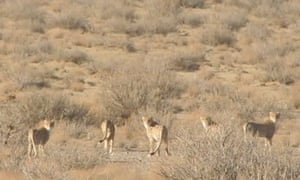 Asiatic Cheetahs in Iran
