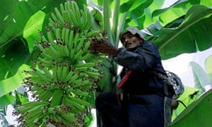 costa rican banana farmer