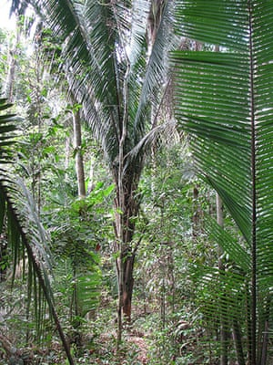 Trees of the Amazon : Palla, conta or shapaja (attalea butyracea)