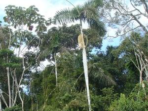 Trees of the Amazon : Barrigona, pona or huacrapona (iriartea deltoidea)