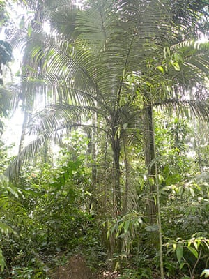 Trees of the Amazon : Huicungo (astrocaryum murumuru)