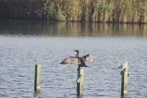 Great Nature Watch: Cormorant