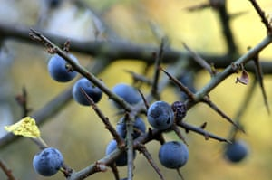Great Nature Watch: Blackthorn