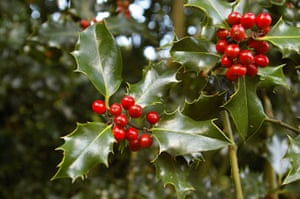 Great Nature Watch: Holly