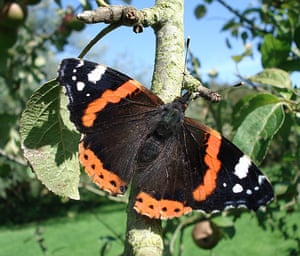 Great Nature Watch: Red Admiral