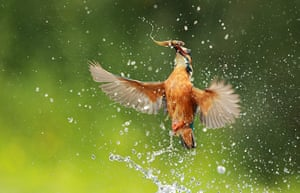 Great Nature Watch: Kingfisher