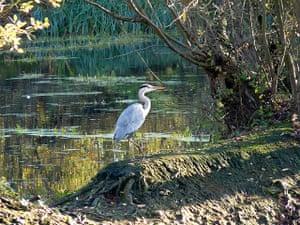Great Nature Watch: Heron